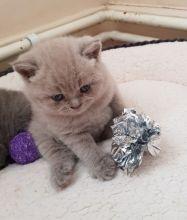 well socialized British Short hair kittens