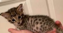 Outstanding Purebred Savannah kittens Image eClassifieds4U