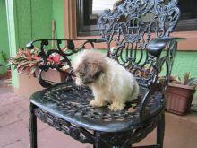 Shih Tzu Puppies For Adoption Image eClassifieds4U