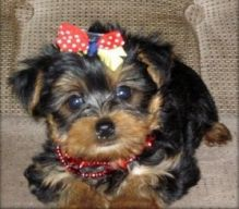 Home raised yorkie puppies for rehoming Image eClassifieds4U