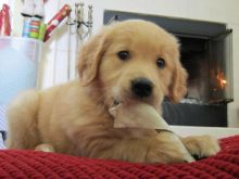 Golden Retriever Puppies available . Shots taken, KC registered and potty trained