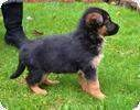 lovely Male and Female German Shepard Puppies For Adoption
