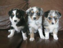 Charming Australian Shepherd puppies are now ready