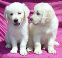 Adorable Golden Retriever Puppy For Adoption