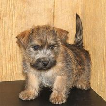 A loyal, affectionate, Teacup Carin Terrier puppies