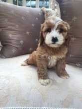 Friendly Cavapoo Puppies