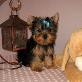 Cute Yorkie puppies available for adoption Text or call (708) 928-5512
