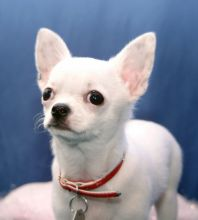 Chihuahua puppies available, updated on vaccinations, potty trained and well socialized.