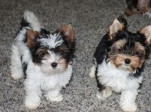 loving and affectionate male and female yorkies ready.