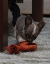 Chihuahua puppies available, updated on vaccinations, potty trained and well socialized. Image eClassifieds4u 2