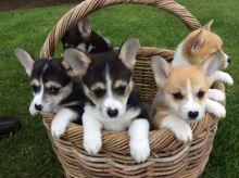 Pembroke Welsh Corgi puppies 🎂 Email at ( baroz533@gmail.com )