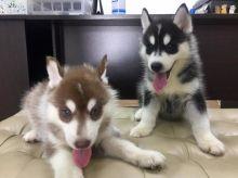 Cute Blue Eye Siberian Husky Pups Available *Email at (salamixz53@gmail.com)