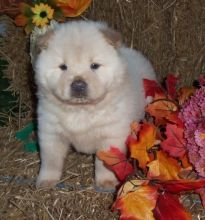 C.K.C MALE AND FEMALE CHOW CHOW PUPPIES AVAILABLE Image eClassifieds4U
