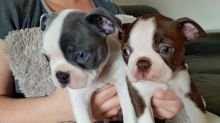 Boston terrier Puppies Available Email at (baroz533@gmail.com )