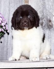 C.K.C MALE AND FEMALE NEWFOUNDLAND PUPPIES AVAILABLE