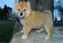 Gorgeous Quality registered Shiba Inu puppies.