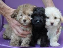 Miniature poodle puppies Email at (amandavilla980@gmail.com)