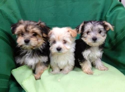 Exceptional Morkie Puppies Available Image eClassifieds4u