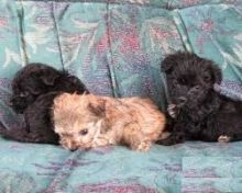 Accommodating Yorkie Poo puppies Available