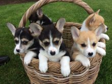 Purebred Pembroke Welsh Corgi Available