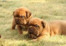 Dogue de bordeaux puppies Available