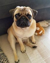 Healthy cute PUG puppies available for adoption Text or call (708) 928-5512