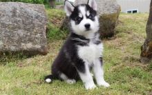 Healthy cute Siberian Husky puppies available for adoption Text or call (925) 471-5289