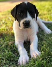 intelligent Great Dane puppies available