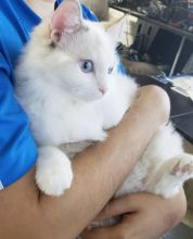 Awesome Ragoll Kittens available for Adoption Text or call (708) 928-5512 Image eClassifieds4U