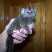 Lovely Cute Marmoset Monkey available for adoption Text or call (708) 928-5512 Image eClassifieds4U
