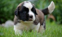 Beaitiful new litter Bernese Mountain Dog Puppies
