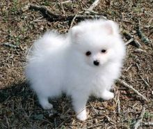 Charming Pomeranian puppies available.