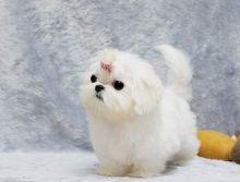 Full Pedigree Maltese Puppy - 1 Boy Left