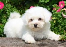 Male and Female (Maltese) Puppies For Sale.