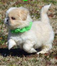 Mini chihuahua purebred puppies