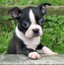 vaccinated male and female Boston terrier puppies for sale.