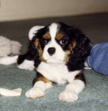 St Bernard Puppies Image eClassifieds4U
