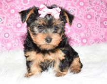 teacup Yorkie puppies males and females Image eClassifieds4U