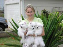 Amazing Male and Female SAMOYED ☮ Puppies Available