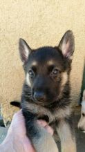 German Shepherd puppies available, updated on vaccines and potty trained.
