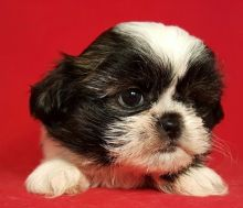 Male And Female Shih Tzu Puppies Available, vaccinated and will come with health Guarantee