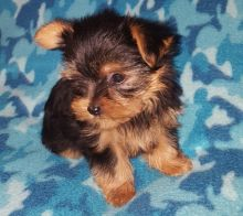 Male and female Teacup Yorkie Puppies available