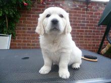 Adorable Golden Retriever Puppies Available