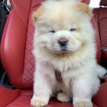 beautiful Chow Chow Puppies Available