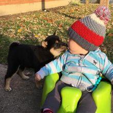 CKC Shiba Inu Puppies for adoption.
