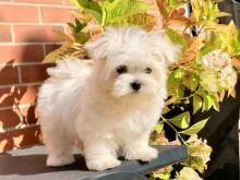 cutty male and female Pure white Maltese puppies.