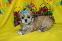 Home Trained Tiny Furry Home Shihtzu Puppies