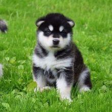 Alaskan Malamute Puppies,Ckc Reg. Image eClassifieds4U