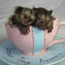 Charming Marmoset Monkeys