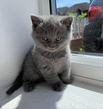 playful and affectionate Scottish Fold kittens